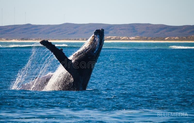 驼背鲸突破口 免版税库存照片