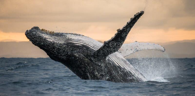 驼背鲸跳出水 美好的上涨 一张罕见的照片 马达加斯加 圣玛丽` s海岛 免版税库存图片