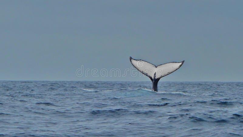 驼背鲸,厄瓜多尔的飞翅 库存图片