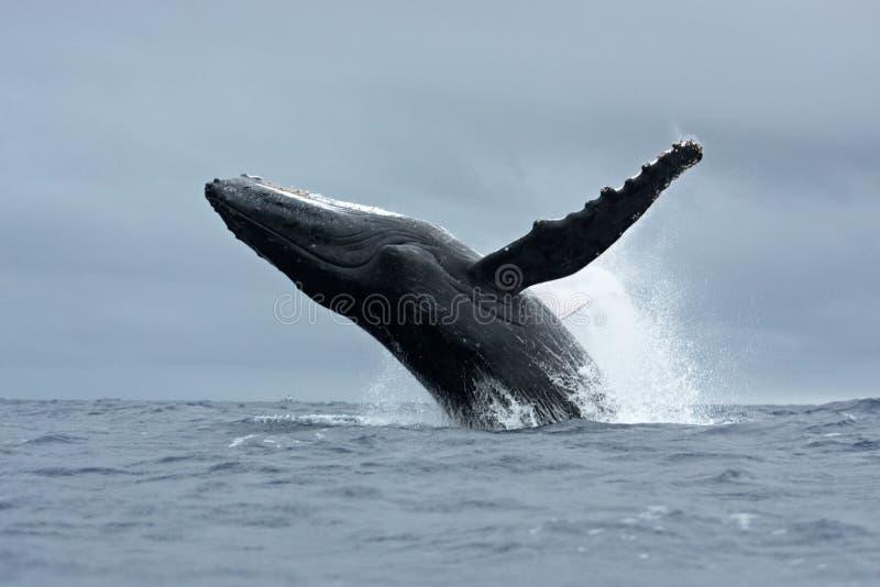 驼背鲸, megaptera novaeangliae,汤加, Vava ` u海岛 图库摄影