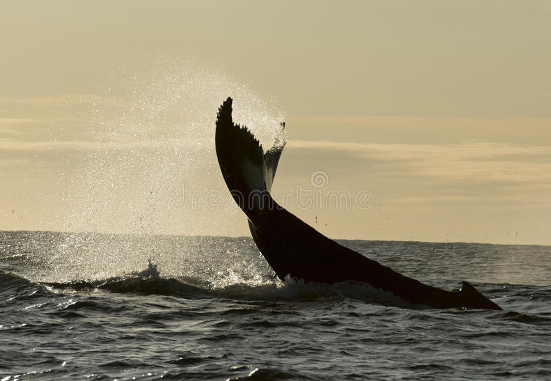 驼背鲸 图库摄影