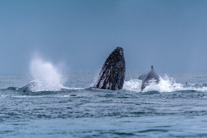 驼背Megaptera跳出水的novaeangliae鲸鱼 马达加斯加 圣玛丽` s海岛 图库摄影