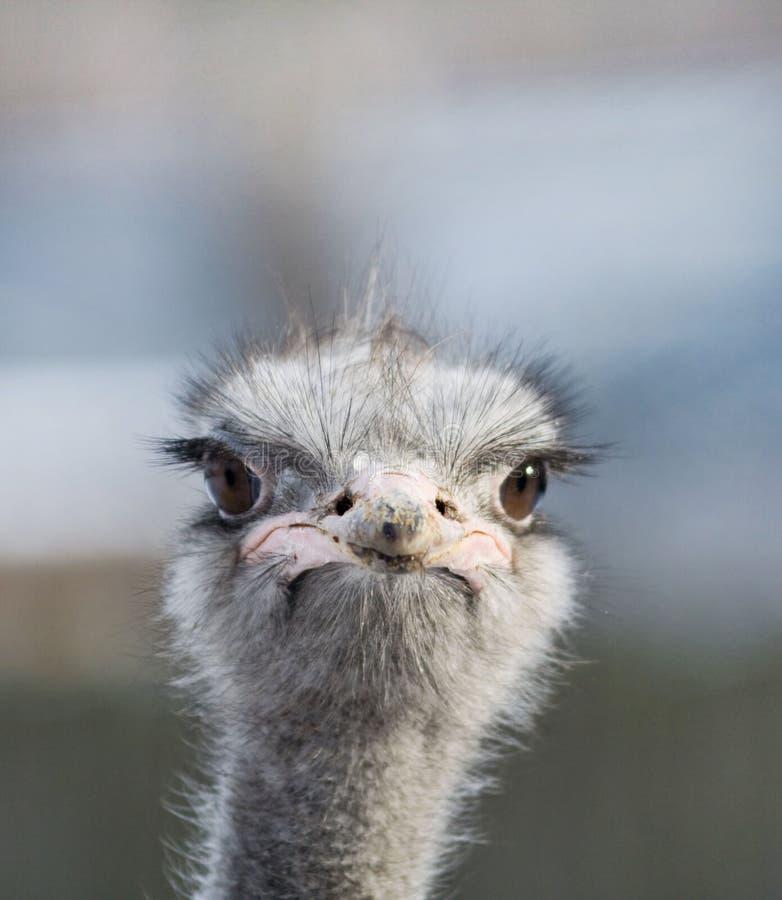 驼鸟纵向 免版税图库摄影