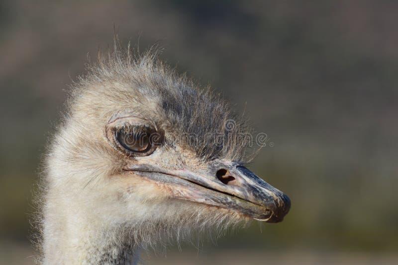 驼鸟面孔 免版税库存图片