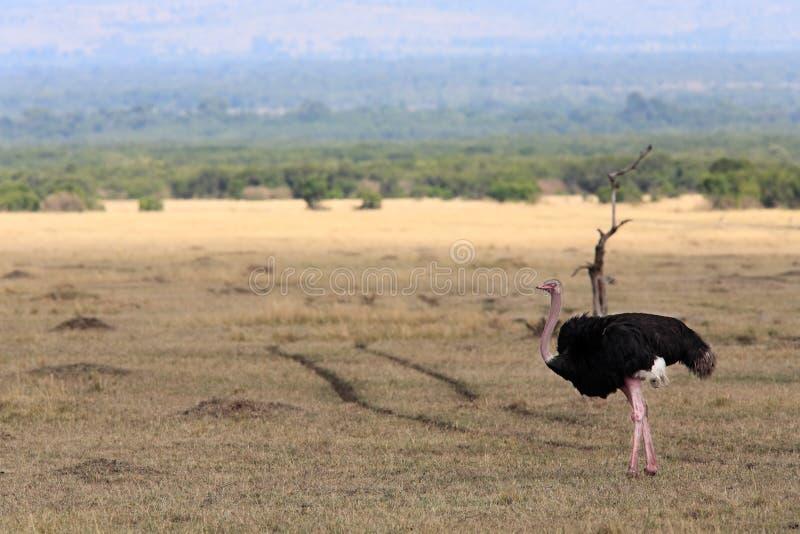 驼鸟马塞人玛拉储备肯尼亚非洲 免版税库存图片