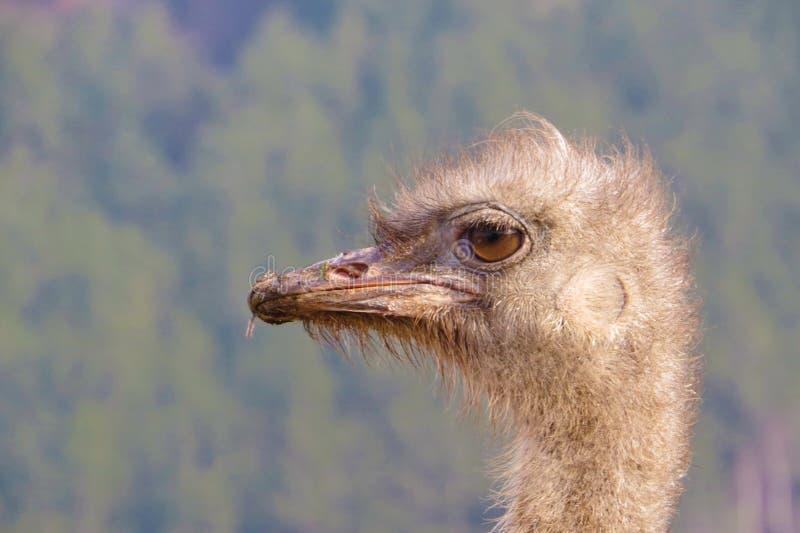驼鸟,丽亚,骆驼鸟 库存图片