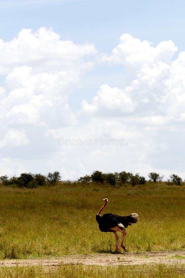 驼鸟,马塞语Mara,肯尼亚 免版税库存图片