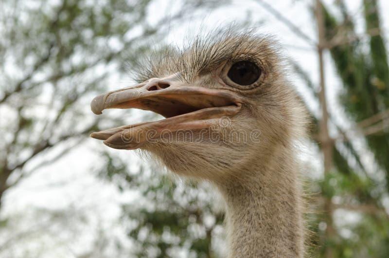 驼鸟头特写镜头  库存图片