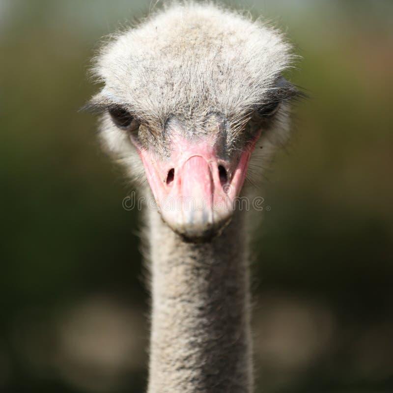 驼鸟头,大眼睛avestruz 库存图片