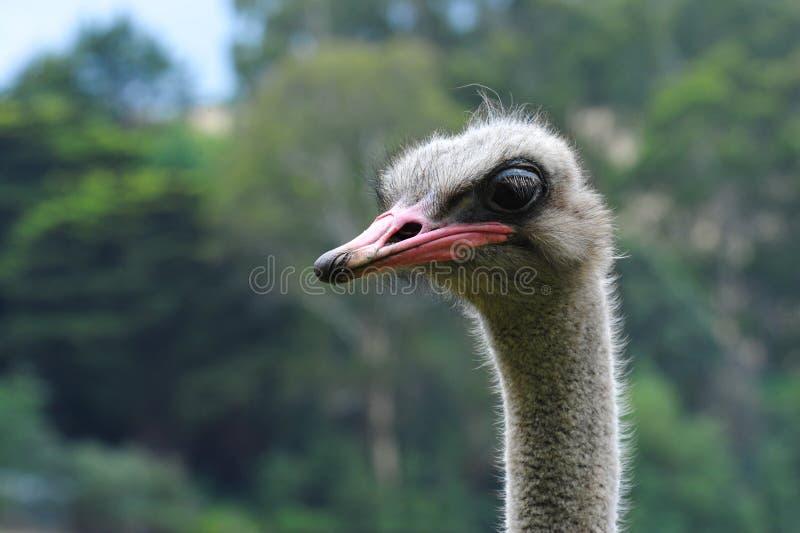 驼鸟head.he驼鸟或者公用驼鸟(非洲鸵鸟类骆驼属),是大不能飞的鸟的一两个种类当地对非洲 库存图片
