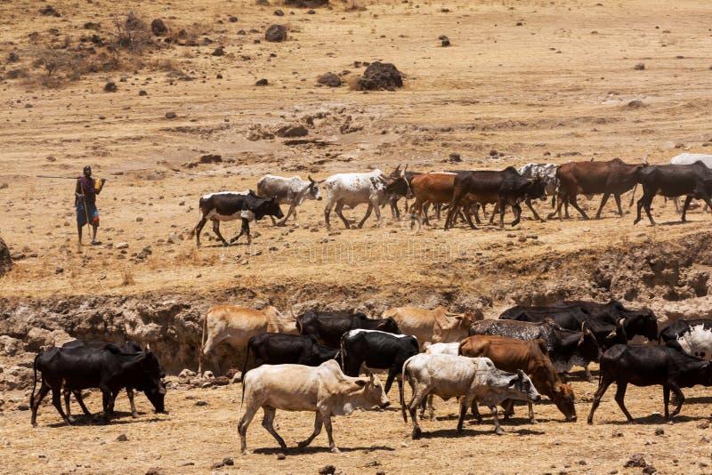 驾驶他的母牛群的马萨伊男孩到水喝 免版税库存照片