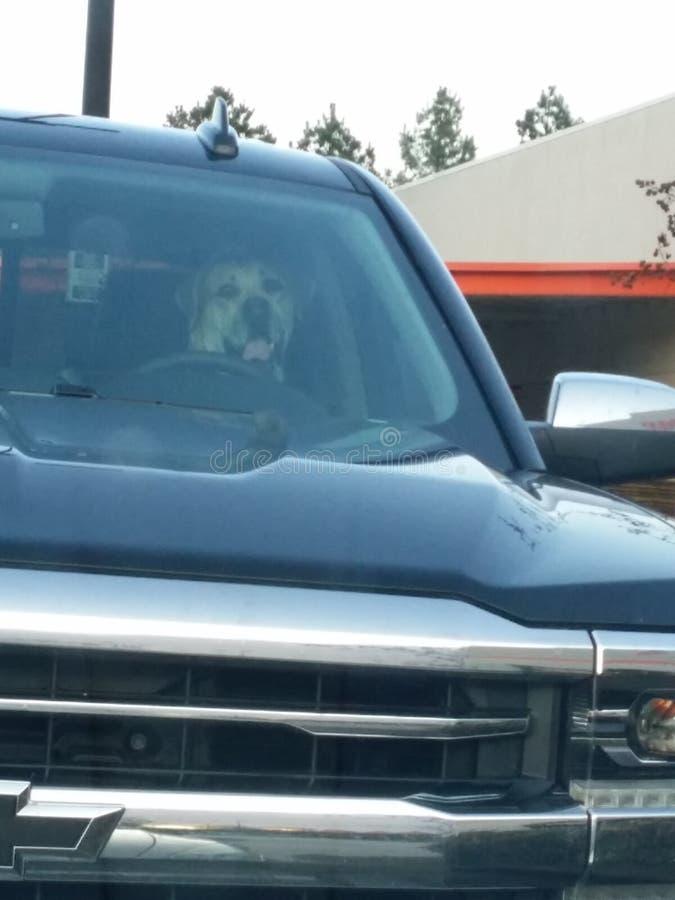 驾驶狗 库存图片