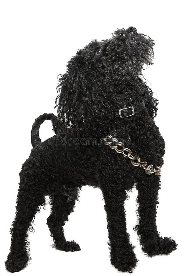 黑狮子狗 库存照片
