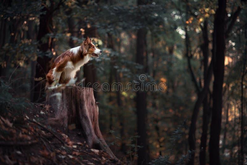 骄傲的博德牧羊犬狗 库存照片