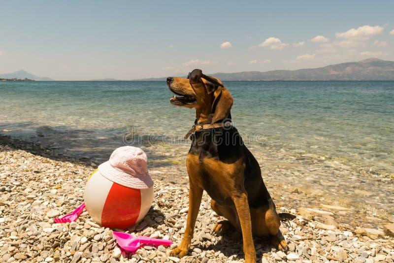 骄傲的在海滩的狩猎狗画象佩带的太阳镜 免版税库存图片