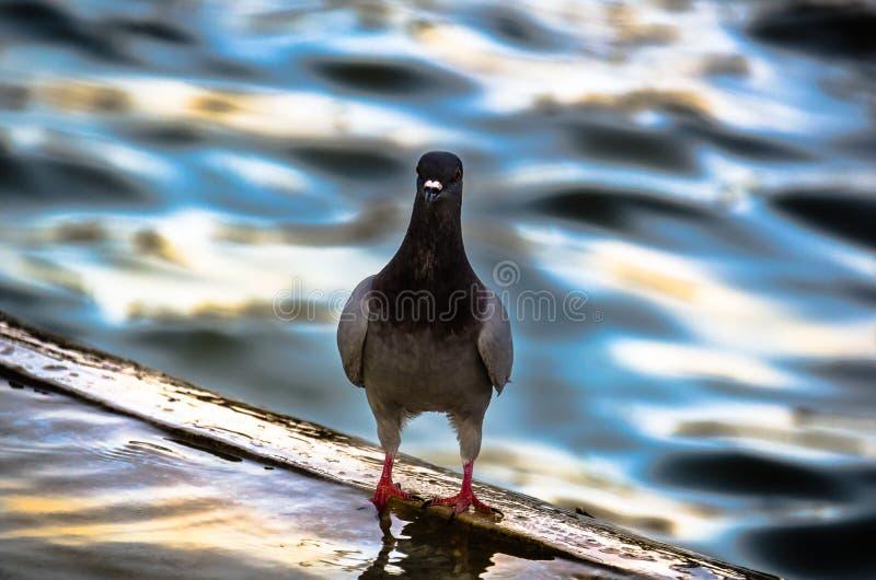 骄傲的鸽子 库存照片