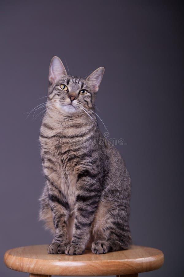 骄傲确信家猫摆在 免版税库存照片