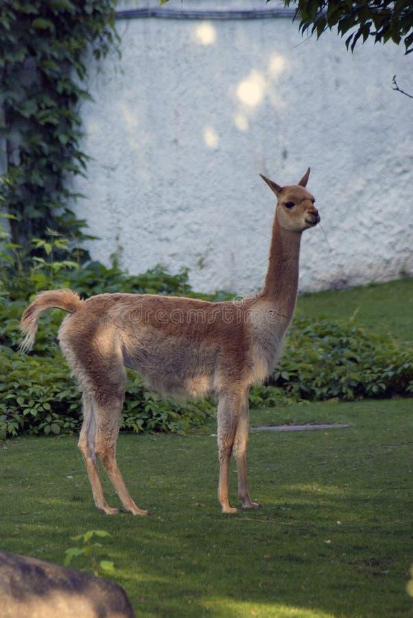 骆马之类在绿草站立 彩色照片 图库摄影