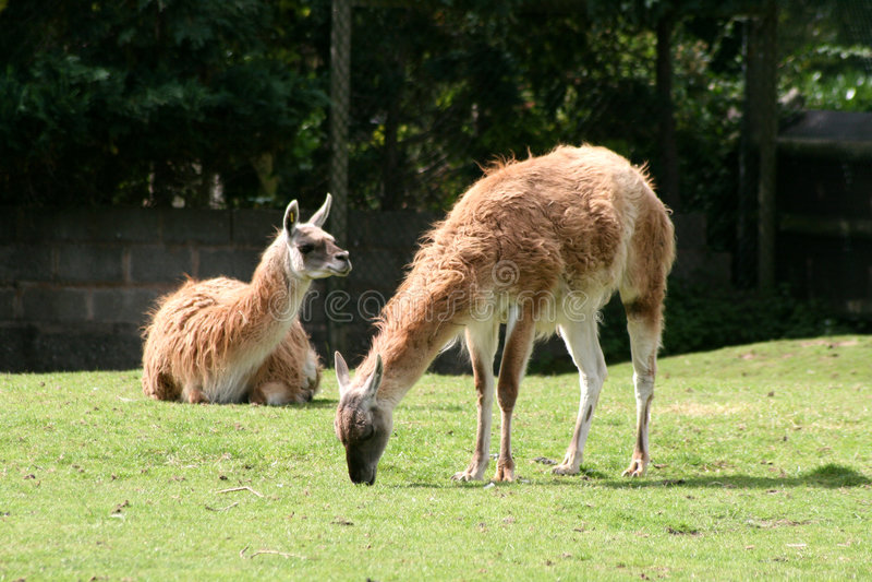骆马之类guanicoe喇嘛骆马 免版税库存照片