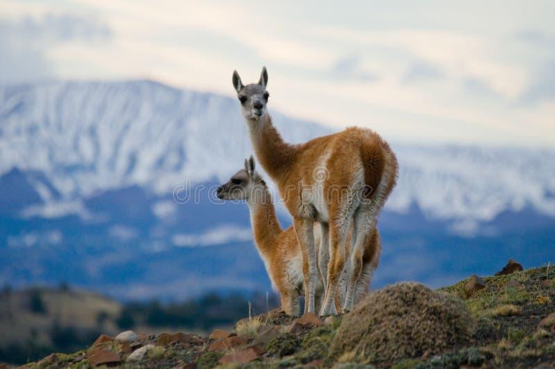 骆马之类在多雪的山峰山背景的冠站立  del paine torres 智利 库存图片