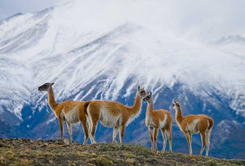 骆马之类在多雪的山峰山背景的冠站立  del paine torres 智利 库存照片