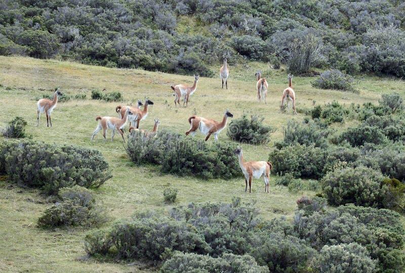 骆马之类在火地群岛 库存图片