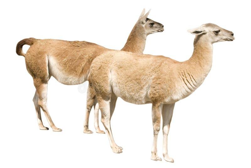 骆马二 库存图片