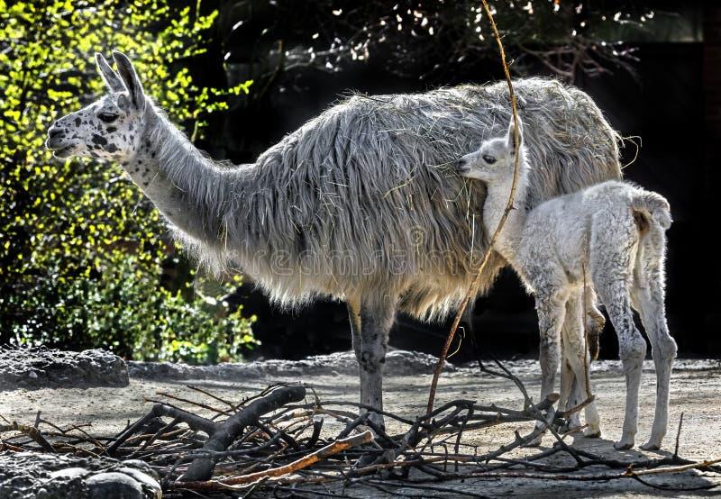 骆马和她的孩子1 库存照片
