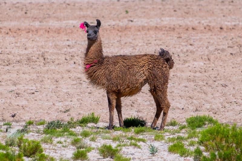 骆马喇嘛glama在谷站立 库存图片