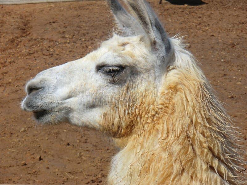 骆马喇嘛glama 免版税库存照片