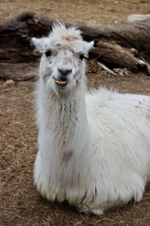 骆马微笑 免版税图库摄影