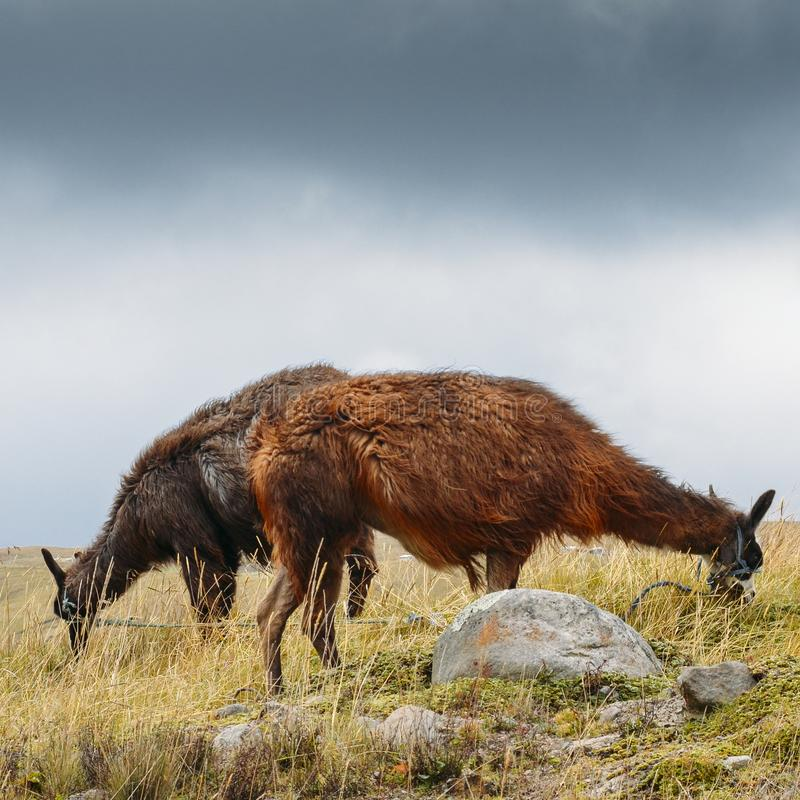 骆马是一被驯化的南美camelid,用途广泛作为肉和驮兽由安地斯山的文化从哥伦布发现美洲大陆以前e 免版税库存图片