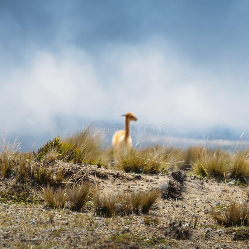 骆马是一被驯化的南美camelid,用途广泛作为肉和驮兽由安地斯山的文化从哥伦布发现美洲大陆以前e 免版税图库摄影
