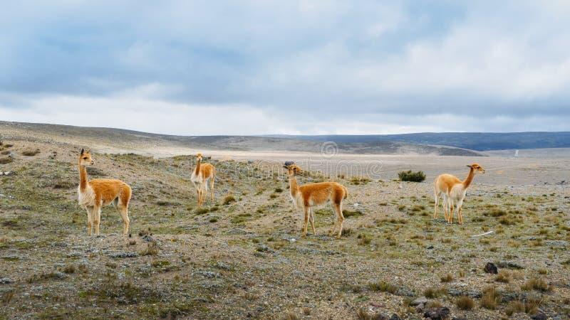 骆马是一被驯化的南美camelid,用途广泛作为肉和驮兽由安地斯山的文化从哥伦布发现美洲大陆以前e 库存图片