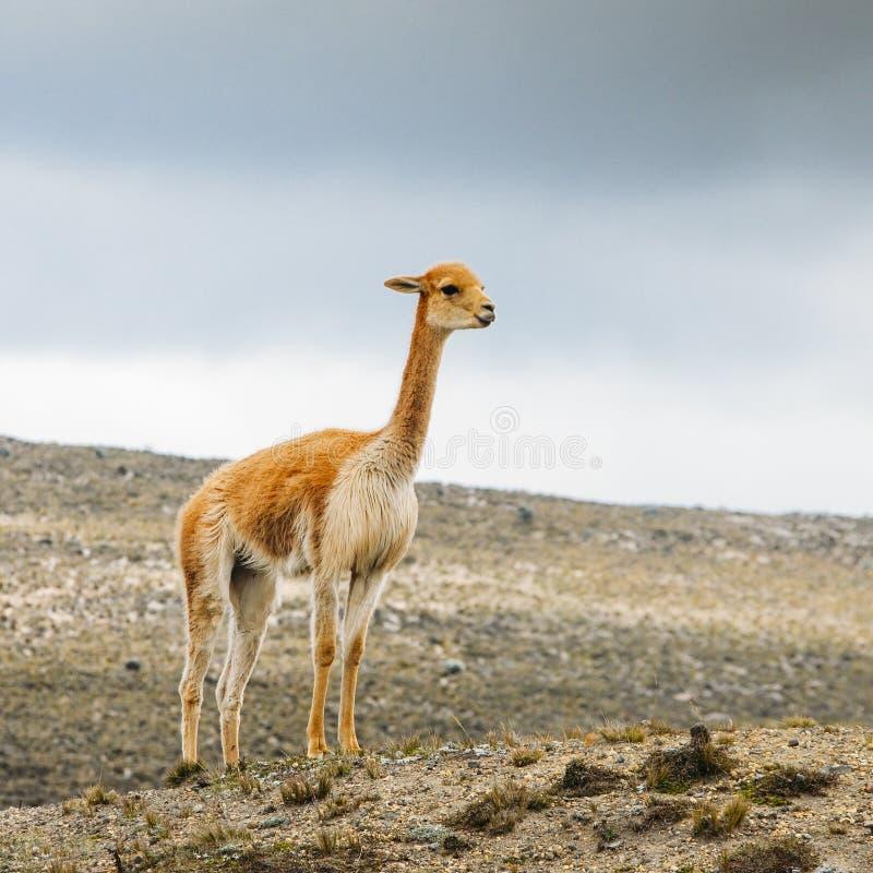 骆马是一被驯化的南美camelid,用途广泛作为肉和驮兽由安地斯山的文化从哥伦布发现美洲大陆以前e 库存照片