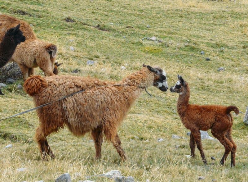 骆马是一被驯化的南美camelid,用途广泛作为肉和驮兽由安地斯山的文化 免版税图库摄影