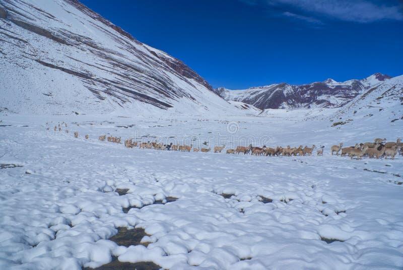 骆马牧群在安地斯 库存图片