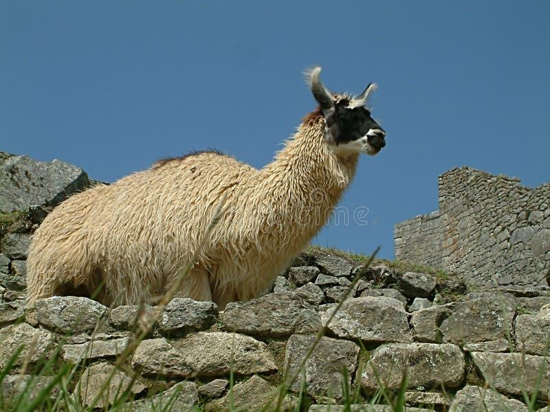 骆马秘鲁人 免版税库存照片