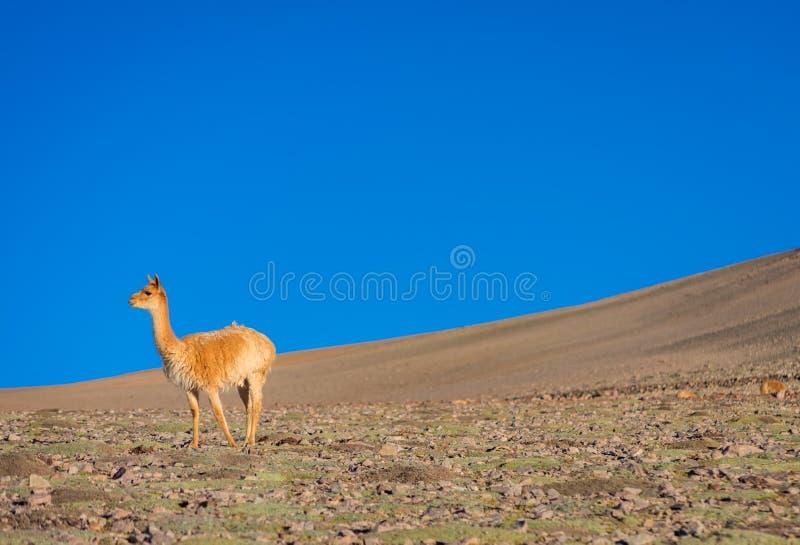 骆马类在它的自然生态环境 免版税库存照片