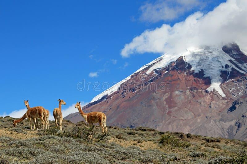 骆马,骆马的狂放的亲戚,吃草在钦博拉索山火山高飞机,厄瓜多尔 免版税库存照片