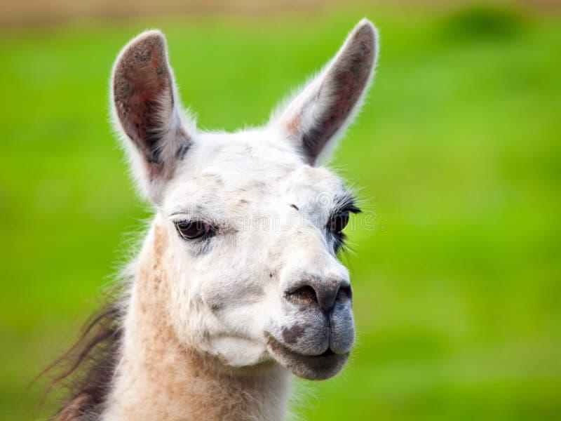 骆马画象 南美哺乳动物 特写镜头视图有绿草背景 库存照片