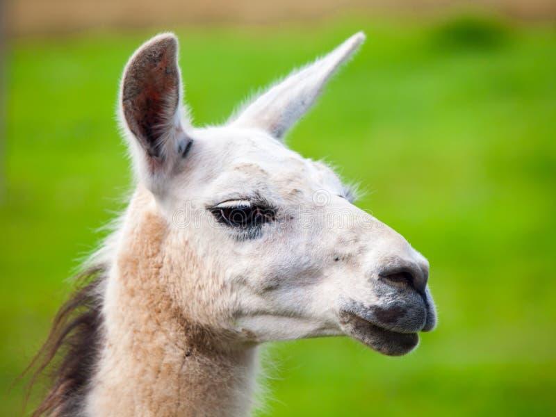 骆马画象 南美哺乳动物 特写镜头视图有绿草背景 免版税库存照片