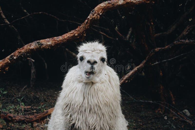 骆马 库存照片