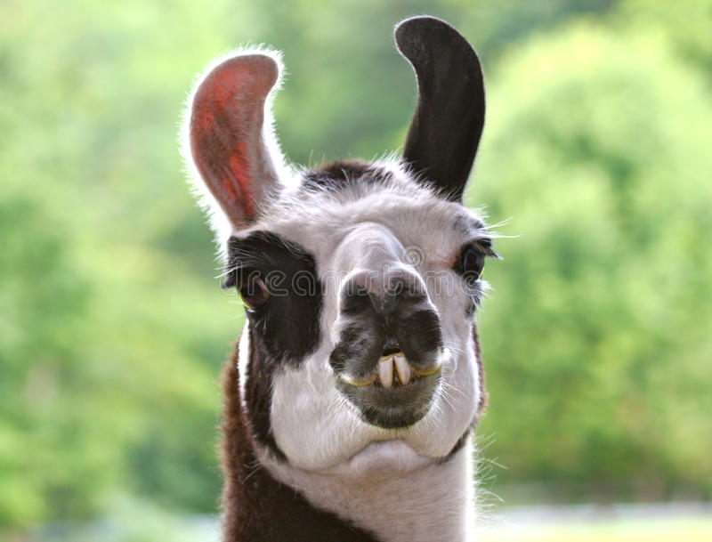 骆马 免版税库存照片