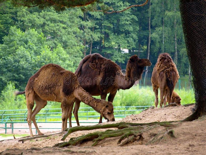 骆驼三 免版税库存照片