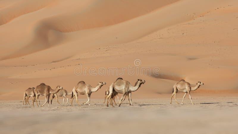 骆驼倒空季度 图库摄影
