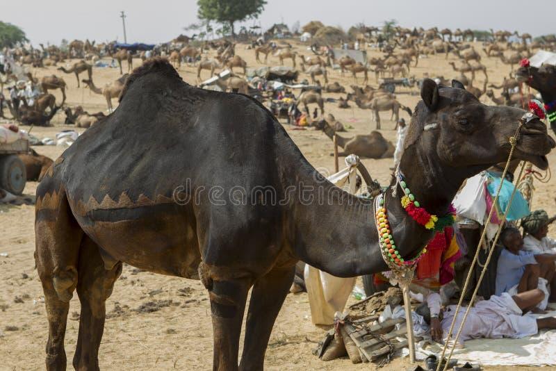 骆驼公平的普斯赫卡尔 库存图片