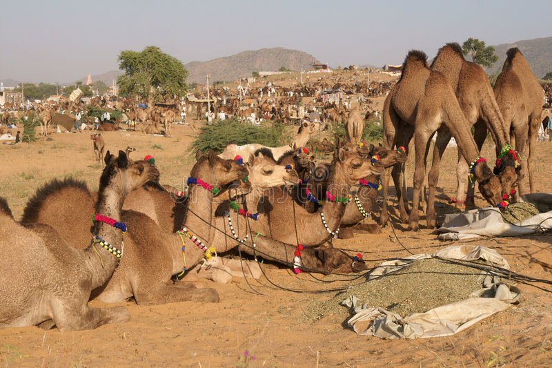 骆驼公平的pushkar销售额 图库摄影