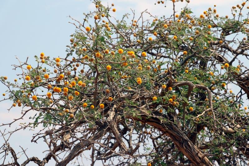 骆驼刺树Vachellia erioloba -金合欢erioloba - sossusvlei纳米比亚非洲 库存图片