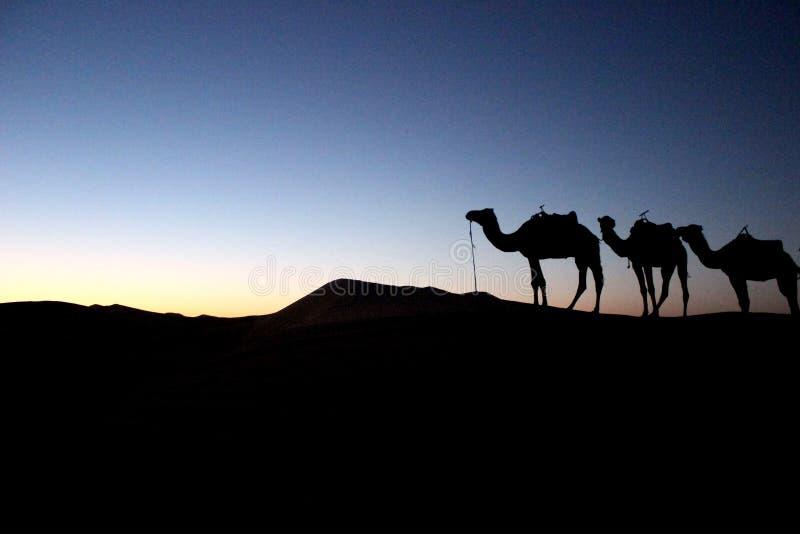 骆驼剪影在沙漠 库存图片